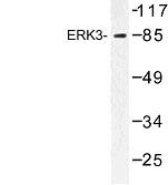 NBP1-00815 - MAPK6 / ERK3