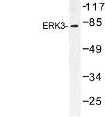 NBP1-00816 - MAPK6 / ERK3