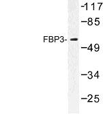 NBP1-00819 - FUBP3