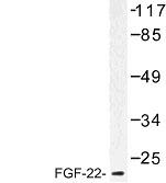 NBP1-00820 - FGF22