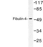NBP1-00821 - Fibulin-4