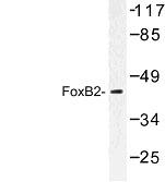 NBP1-00823 - FOXB2