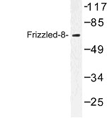NBP1-00833 - FZD8 / Frizzled-8