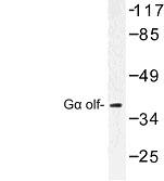NBP1-00840 - G alpha protein olf
