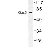 NBP1-00843 - GAS6 / AXLLG