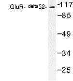 NBP1-00852 - Glutamate receptor delta-2