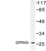 NBP1-00860 - FFAR1 / GPR40