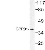 NBP1-00861 - Succinate receptor 1 / GPR91