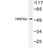 NBP1-00876 - HNF4 alpha / TCF14