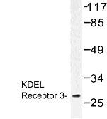 NBP1-00896 - KDEL Receptor 3 / KDELR3
