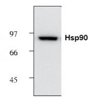 NB120-1429 - Heat Shock Protein 90 / HSP90