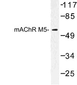 NBP1-00907 - Muscarinic acetylcholine receptor M5