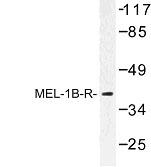 NBP1-00922 - Melatonin Receptor 1B