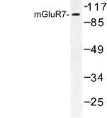 NBP1-00926 - mGluR7 / GRM7