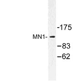 NBP1-00928 - MN1