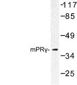 NBP1-00932 - PAQR5