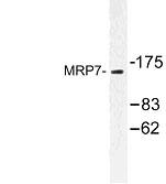 NBP1-00934 - ABCC10 /  MRP7