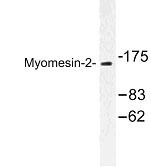 NBP1-00936 - Myomesin-2