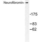NBP1-00942 - Neurofibromin