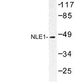 NBP1-00951 - NLE1
