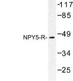 NBP1-00957 - NPY Receptor 5 / NPY5R