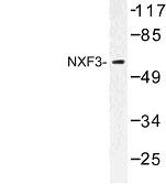 NBP1-00962 - NXF3