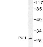 NBP1-00995 - SPI1 / PU.1