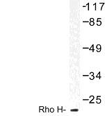 NBP1-01002 - RhoH