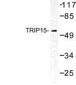 NBP1-01043 - COPS2 / TRIP15