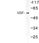 NBP1-01050 - VGF