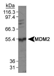 NBP1-02158 - MDM2