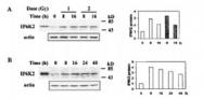 NBP1-02305 - InsP6 kinase 2 / IP6K2