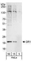NBP1-03329 - DR1 / NC2-beta