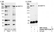 NBP1-03332 - WDFY3 / ALFY