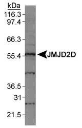 NBP1-03357 - JMJD2D / KDM4D