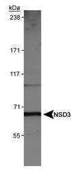 NBP1-04991 - WHSC1L1 / NSD3