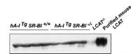 NBP1-05950 - LCAT