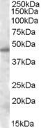 NBP1-06077 - Septin-7