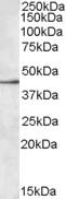 NBP1-06078 - CD329 / SIGLEC8