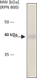 NB120-12421 - Cytohesin 2