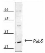 NB120-13253 - RAB5A / RAB5