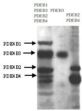 NB300-679 - PDE4B