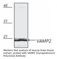 NB100-1927 - VAMP-2 / Synaptobrevin-2