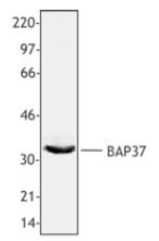 NB120-18305 - Prohibitin-2
