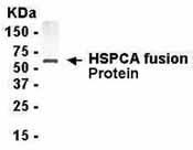 NB120-19104 - Heat Shock Protein 90 / HSP90
