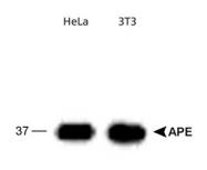 NB100-909 - APEX1 / REF-1
