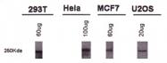 NB100-599 - BRCA1 / RNF53