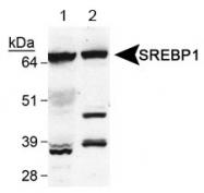 NB100-2215 - SREBF1 / SREBP1