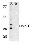NB600-1155 - BNIP3L / BNIP3A