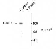 NB300-171 - Glutamate receptor 1 / GLUR1
